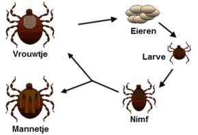 Er zijn diverse stadia in het leven van een teek, daardoor zie je ook teken van diverse soorten en maten