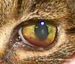 Uveitis bij een kat tengevolge van FeLV