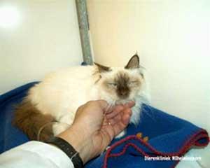 Een kitten van 6 maanden met de verdenking van FIP