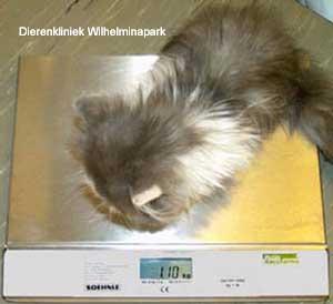 Een kitten van 8 maanden die maar 1,1 kg zwaar is!