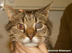 Een kat met uveitis tgv FIP