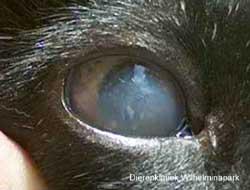 Uveitis bij een kat tengevolge van FIV