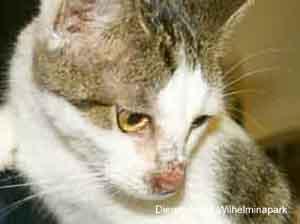 Huidontsteking tgv demodex bij een kat tengevolge van FIV