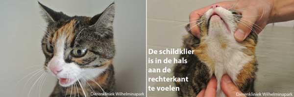 http://www.dierenkliniekwilhelminapark.nl/images/dierinfo/kat/schildklier/oudere%20kat%20met%20te%20snel%20werkende%20schildklier.jpg