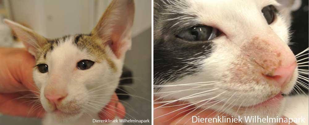 kittens met schimmelplekken tgv Micro sporum canis
