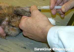Intraveneuze injectie in de oorvene bij een konijn