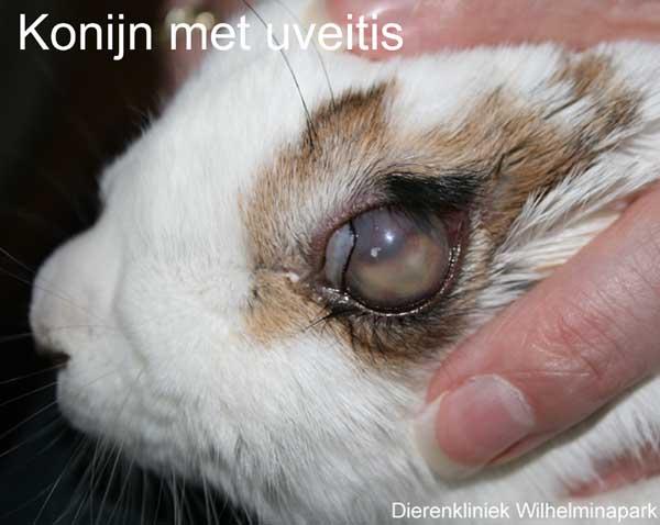 Het konijn heeft een verdikking in het oog
