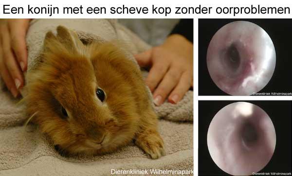 Een konijn met een scheve kop heeft bijna nooit een middenoorontsteking