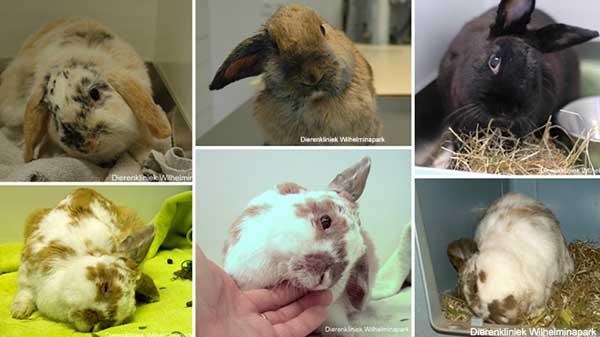 Diverse konijnen met torticollis of een gedraaide nek