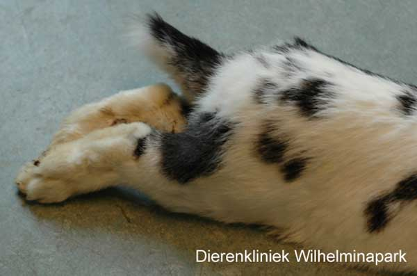 Verlamde achterpoten bij een konijn tgv E. cuniculi