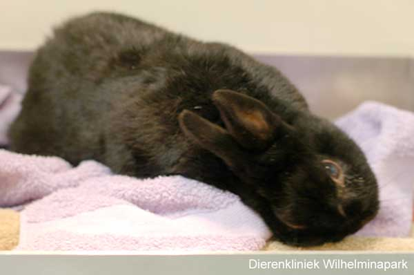 Een konijn met een torticollis