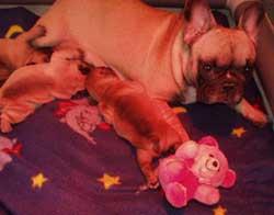 puppies drinken melk bij de moeder, het rode licht is an de warmtelamp