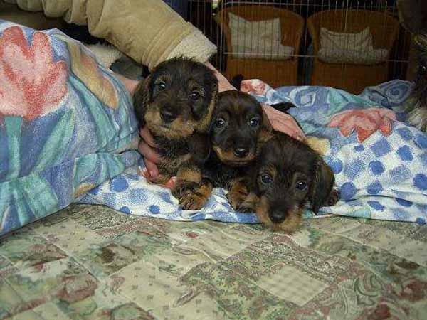 Puppies van 3 weken oud