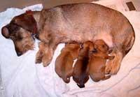 puppies drinken melk bij de moeder