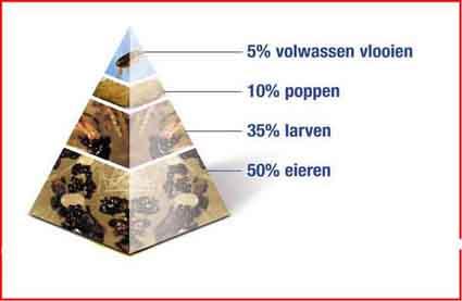 Pyramide waaruit blijkt dat eitjes en larven het grootste deel van de vlooiencyclus vormen